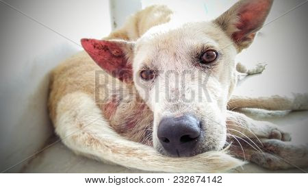 Close Up Face Of A White. Stray Dog