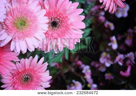 The Pink Chrysanthemum Flower Background, Selective Focus