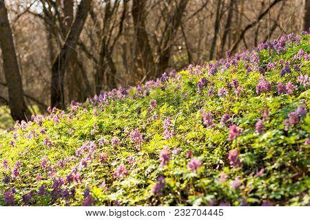 Spring Forest Landscape - Blooming Forest Spring Mauve Flowers Of Corydalis Halleri Under The Tree I