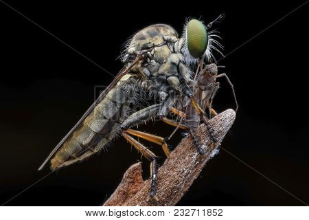Super Macro Robber Fly With Prey Perching On Treetop