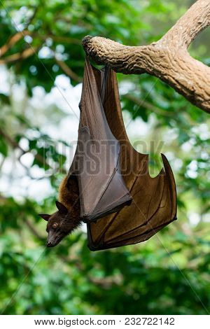 Malayan Flying Fox Hanging On A Branch In The Jungle