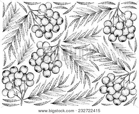 Berry Fruit, Illustration Wall-paper Background Of Hand Drawn Sketch Of Rowanberries. High In Vitami