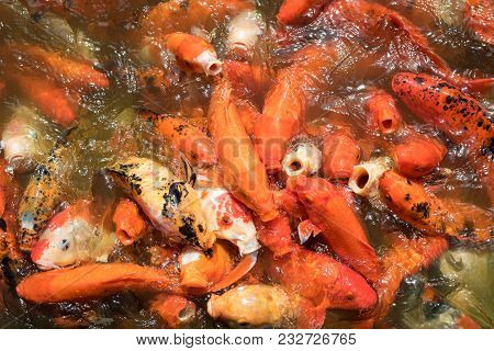 Colorful Japanese Carp Fish In A Pond. Koi Carps Crowding And Competing For Food.