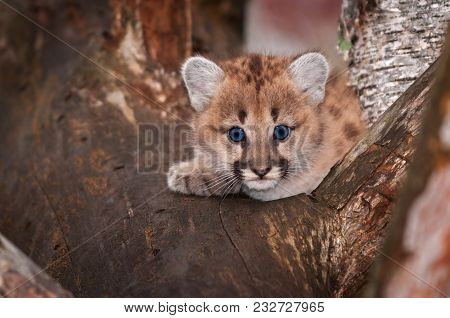 Female Cougar Kitten (puma Concolor) Peers Out One Paw Tucked - Captive Animal