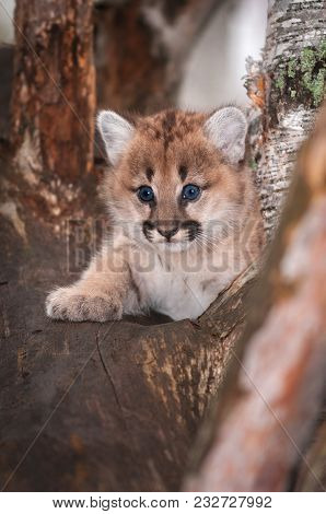 Female Cougar Kitten (puma Concolor) Looks Out Paw Forward - Captive Animal