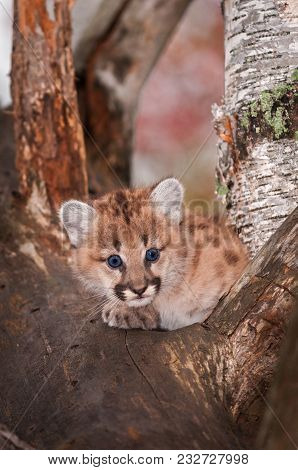 Female Cougar Kitten (puma Concolor) Crossed Paws - Captive Animal