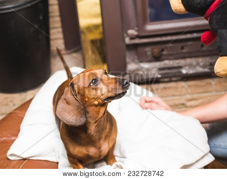 Brown, Adult Dachshund Looking Up At A Toy As A Person Plays With It.