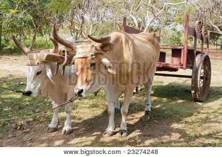 Oxen In Cuban Farm