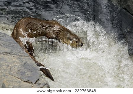 North-american Otter Enjoying A Dip In Water.