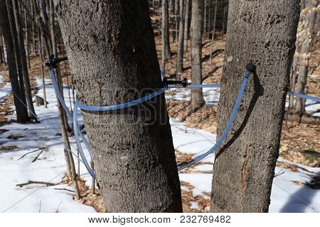 Collecting Sap From A Sugar Maple To Be Made Into Maple Syrup