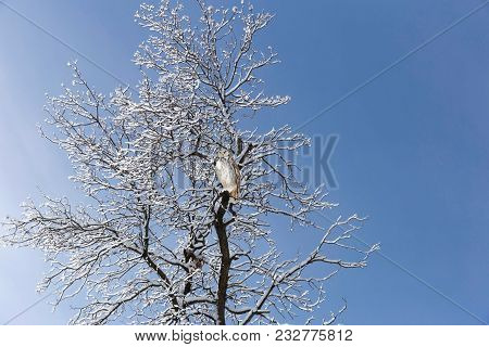 Horizontal Image Of A Grey Horned Owl Perched On A Snow Covered Bare Tree Looking Straight Ahead In