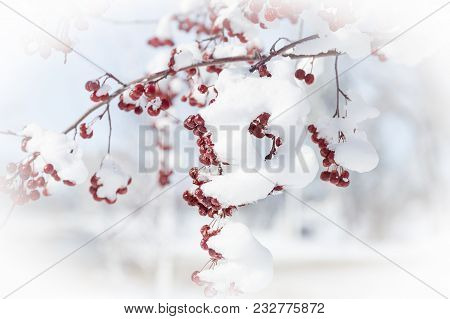 Horizontal  Close Up Image Of Snow Covered Mountain Ash Berries Hanging From Tree Branches In The Wi