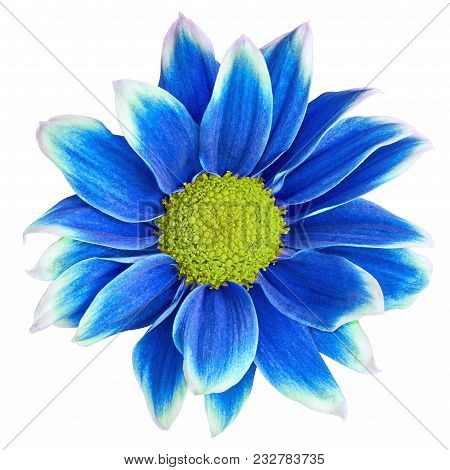 Indoor  Flower Blue-white Chrysanthemum  With Yellow Center,  Isolated On White Background. Close-up