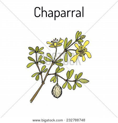 Chaparral Larrea Tridentata , Or Creosote Bush, Greasewood, Medicinal Plant. Hand Drawn Botanical Ve
