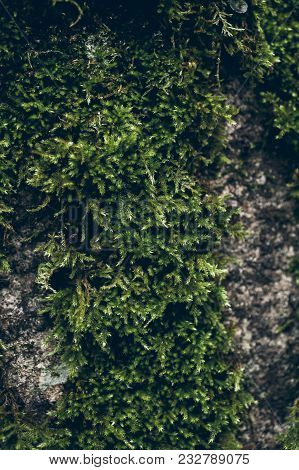 Moss Texture On Stone Background. Green Moss Over A Rock. Organic Background. Wild Moss Texture And