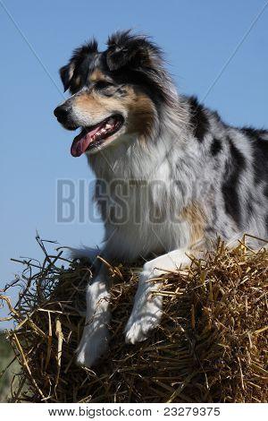 Australian Shepherd On A Straw Bale