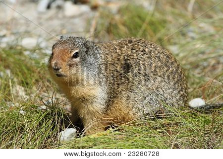 Columbian Ground Squirrel - Jasper National Park