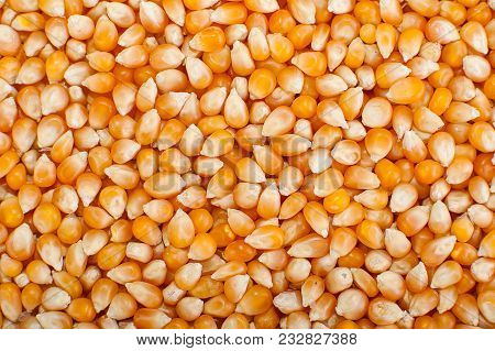 Loseup On Grain Of Corn. Popcorn Kernels, Raw Corn Seeds