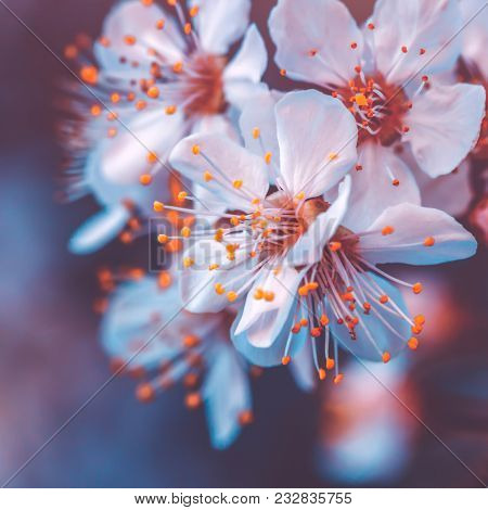 Gentle cherry tree blossoming, fruit tree blooming in spring season, vintage style photo of a tender little white flowers on the branch at the evening