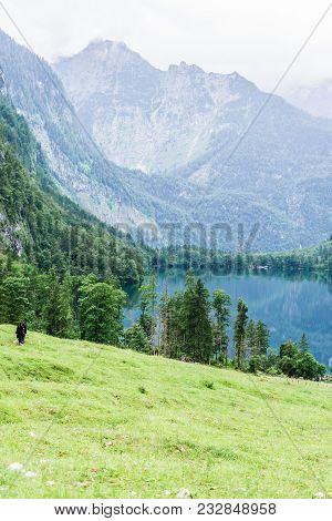 Lake Obersee, Sch Nau Am Konigssee, Bavaria, Germany. Great Alpine Scenery With Cows In National Par