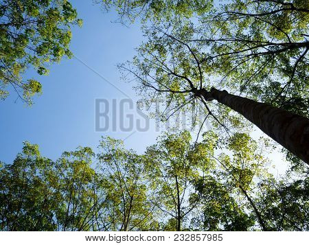 Big Tree With Green Leave In Forest High Up To Blue Sky. Natural And Environment Concept.