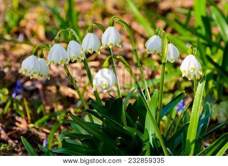 Bunch Of Snowflake Flowers. Lovely Springtime Background