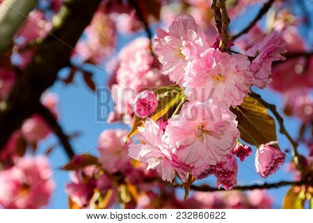 Pink Flowers Of Cherry Blossom Among The Branches. Lovely Springtime Background