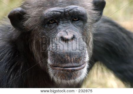 Tier Schimpanse Affe