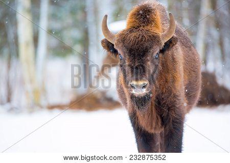 Large Brown Bison Wisent Portrait Near Winter Forest With Snow. Herd Of European Aurochs Bison, Biso