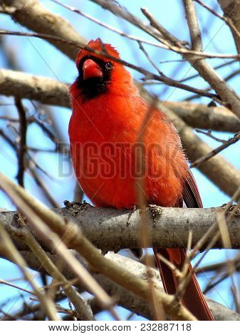 Male Northern Cardinal On A Branchl In Forest Of Thornhill, Canada, March 11, 2018