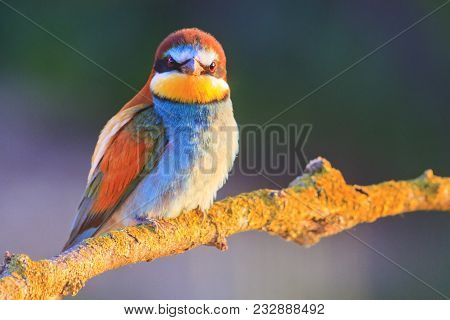 Angry Colored Bird In The Summer Evening On The Branch , Birds, Wildlife And Season Change