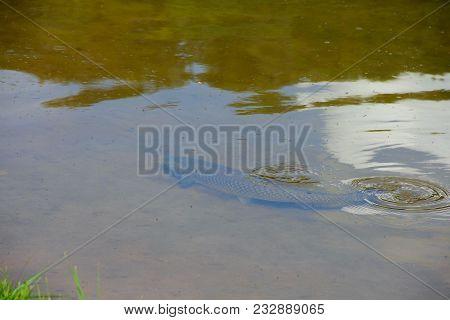 Huge Fish In Pond
