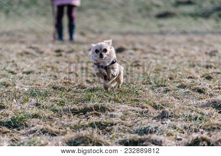 Small Healthy Chihuahua Dog In Run. Fast Running Small Dog From Girl