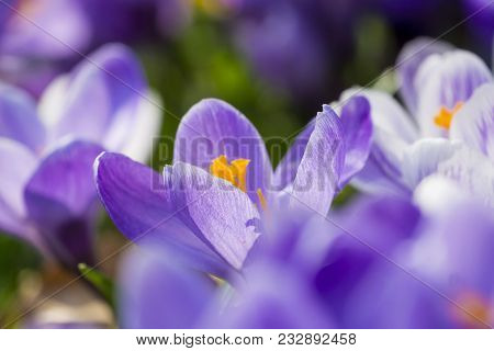 Close-up Of Beautiful Blooming Crocus Flowers On A Green Meadow In Spring. View To Wonderful Purple