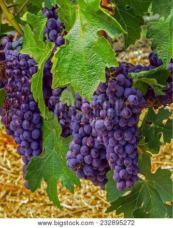 Napa Valley, Ca Usa - 08/06/2013 -  Napal Valley Grapes On A Vine