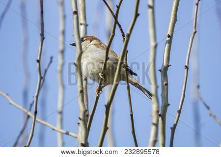 Close-up of a beautiful little Sparrow Bird on Tree in Spring. View to a small Sparrow Bird in morning. Birds and Animal Backgrounds.