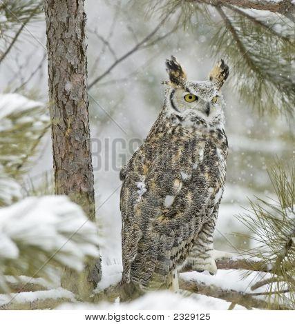 Bird-Long Eared Owl In Snowfall
