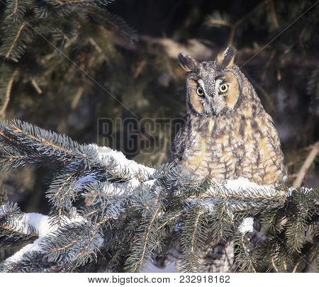 Close Up Image Of A Long Eared Owl Perched On A Pine Tree Branch In Winter.