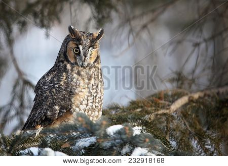 Close Up Image Of A Long Eared Owl Perched On A Pine Tree Branch.  Winter In Minnesota.