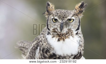 Close Up Head And Shoulders Image Of A Great Horned Owl