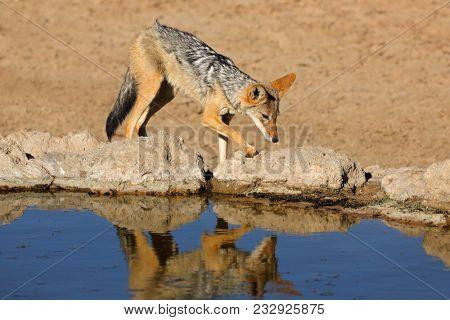 A black-backed jackal (Canis mesomelas) at a waterhole, Kalahari desert, South Africa