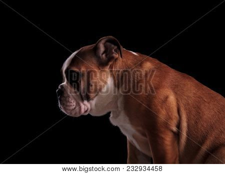side view of cute english bulldog looking down to side while sitting on black background