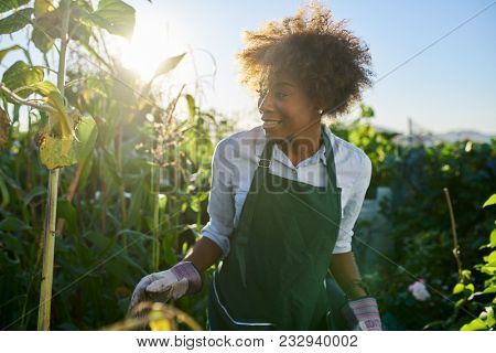 happy african american gardener tending to crops in communal garden