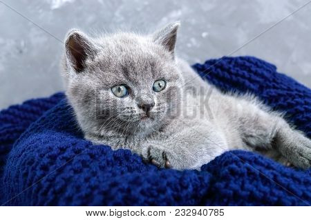 A Small Gray Scottish Straight Kitten In A Basket. Happy Kitten Looking Closely.