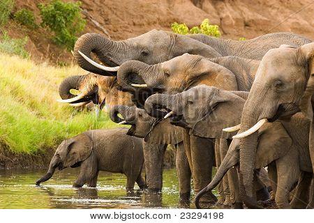 Trinken Elefanten
