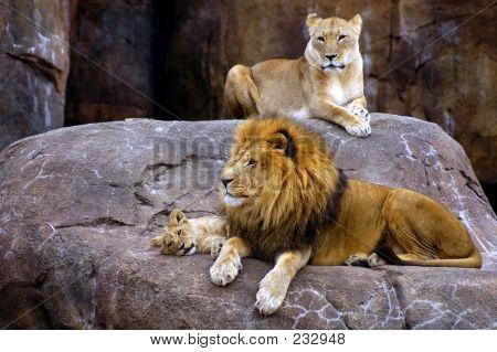 Tier Löwe-Familie
