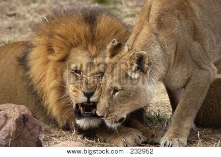 Tier Löwe, Löwin