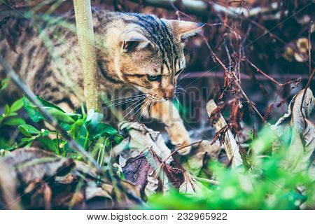 Pretty bengal cat look for food and gaze on something in forest. Outdoor at daytime with bright sunlight. Animal life on natural green background. poster