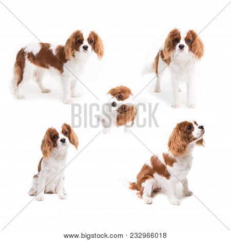 Pedigree Dogs Collage. Cavalier King Charles Spaniel In Studio On White Background - Isolate With Sh