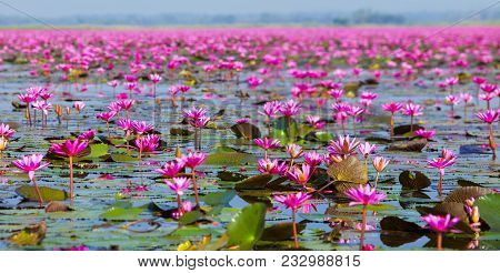 Ban Bua Daeng, Udon Thani , Picture Of Beautiful Lotus Flower Field At The Red Lotus Panorama View.